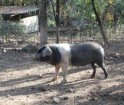 cinta senese pork
