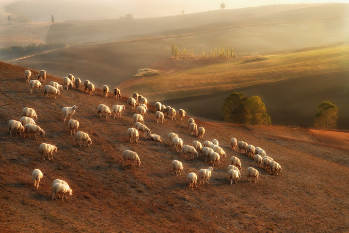 pienza- sheeps -pecorino